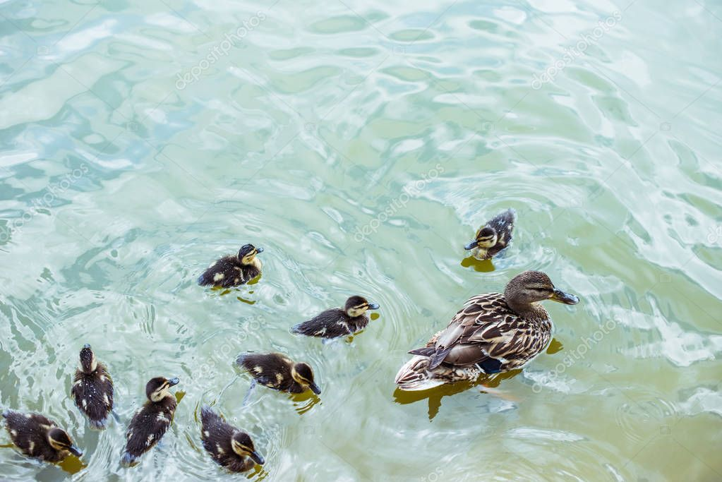 high angle view of mother duck with her ducklings swimming in blue pond