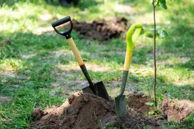 shovels in ground for planting tree in park