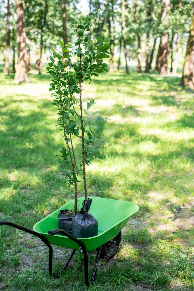 two trees for seedling in wheelbarrow in park