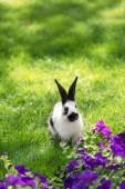 Netter schwarzer und weißer Hase auf grünem Gras neben lila Tabakblumen