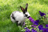 adorable black and white bunny on green grass sniffing purple tobacco flowers