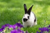 Fotografia adorabile coniglietto bianco e nero su erba verde vicino a fiori viola tabacco
