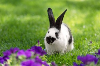 adorable black and white bunny on green grass near purple tobacco flowers