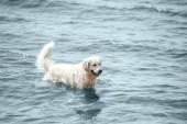 szelektív összpontosít a Arany-Vizsla áll a tenger