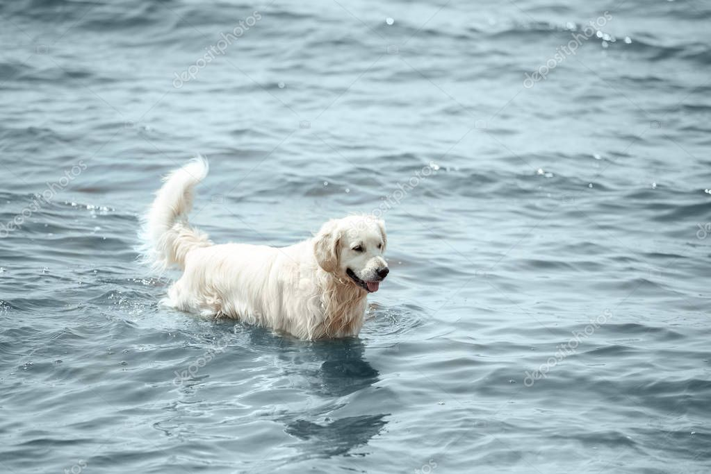 selective focus of golden retriever standing in sea