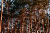malebný pohled krásných vysokých stromů v lese