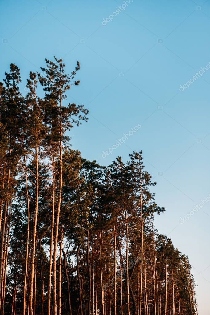low angle view of beautiful trees against majestic blue sky at evening