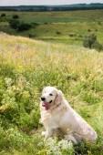 süße golden Retriever Hund sitzt auf der grünen Wiese