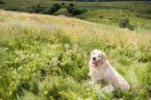 golden retriever dog sitting on beautiful meadow