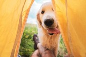 Fotografie cropped view of traveler in tent with funny golden retriever dog
