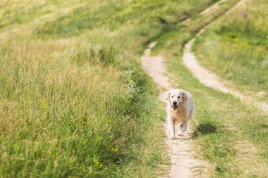 Golden retriever dog walking on path on green meadow stock vector