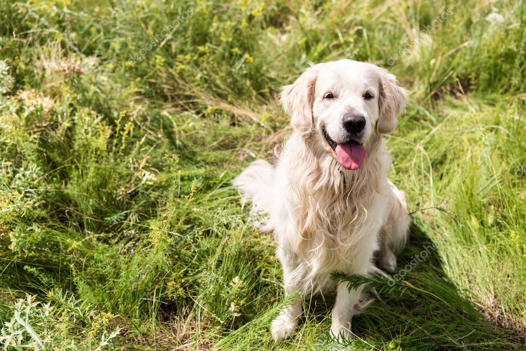 cute golden retriever dog sitting on green grass