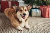 Fotografie cute furry corgi dog lying under christmas tree with gift boxes