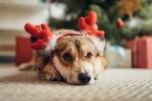 roztomilý welsh corgi pes v Jelení rohy pod vánoční stromeček