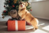 Fotografie lustige Welsh Corgi Hund und Scottish fold Katze auf Geschenk-Box in der Nähe von Weihnachtsbaum