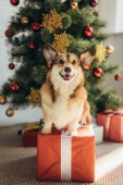 funny welsh corgi dog sitting on red gift box under christmas tree