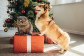 Fotografie süße Welsh Corgi Hund und Scottish fold Katze auf Geschenk-Box in der Nähe von Weihnachtsbaum