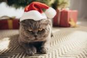 graue schottische Faltkatze mit Weihnachtsmütze, die unter dem Weihnachtsbaum liegt