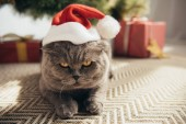 grey scottish fold cat in santa hat lying under christmas tree