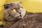 Fotografie grey fluffy scottish fold cat on yellow