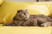 Fotografie šedá skotské klapouché kočky na žluté pohovce doma