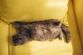 grey scottish fold cat sleeping on yellow sofa at home