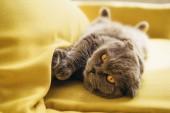 Fotografie cute scottish fold cat lying on yellow sofa at home