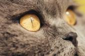 Fotografie zblízka šedé skotské klapouché kočky s žlutýma očima