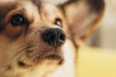 Detailní záběr z nosu roztomilý welsh corgi pes