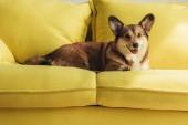 roztomilý welsh corgi pes leží na žluté pohovce