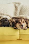 Scottish fold kočka a welsh corgi pes ležící pod dekou na pohovce