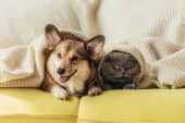 funny pets lying under blanket on sofa