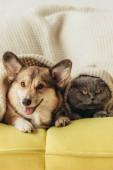 Fotografie lustige Tiere liegen zusammen unter Plaid auf sofa
