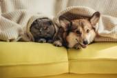 kočka a pes ležící společně pod dekou na pohovce