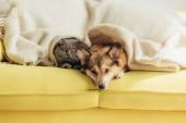 Fotografie Scottish fold kočky a welsh corgi pes ležící pod dekou spolu na pohovce