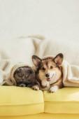 roztomilý welsh corgi pes a kočka ležící pod dekou na pohovce