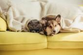 roztomilý scottish fold kočka a welsh corgi pes ležící pod dekou na pohovce