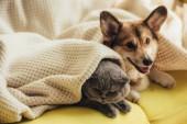 legrační skotské klapouché kočky a welsh corgi pes ležící pod dekou na pohovce