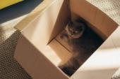 Roztomilý nadýchané skotské klapouché kočky v krabici