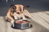 Walisischer Corgi liegt mit Schale voller Hundefutter auf dem Boden