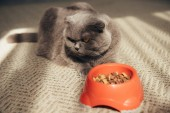 Fotografie scottish fold cat with cat food in red bowl