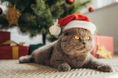 furry scottish fold cat in santa hat lying under christmas tree