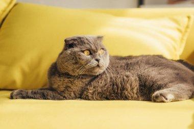 Grey scottish fold cat on yellow sofa at home stock vector