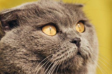 close up of grey scottish fold cat