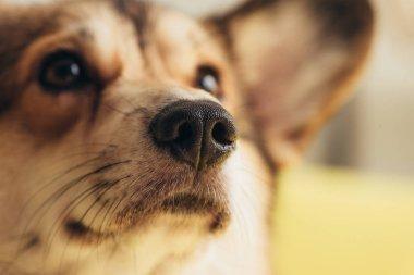 close up of nose of cute welsh corgi dog