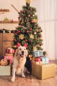golden retriever dog in deer horns sitting near christmas tree with gift boxes