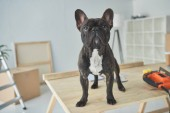 Photo adorable black french bulldog standing on wooden table in new home