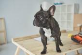 Fotografia adorabile bulldog francese nero in piedi sulla tavola di legno e che osserva via