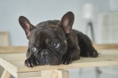 Photo close-up view of adorable black french bulldog lying on wooden table in new home