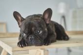 Nahaufnahme der entzückenden schwarzen französischen Bulldogge, die im neuen Zuhause auf einem Holztisch liegt